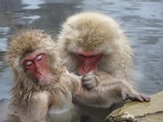 2014 Snow monkeys le